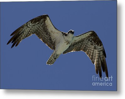 Metal Print featuring the photograph Osprey In Flight Photo by Meg Rousher