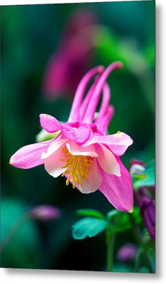 Pink And White Columbine Flower Metal Print by RM Vera