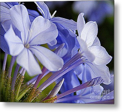 Plumbago Summer Solstice In New Orleans Louisiana Metal Print by Michael Hoard