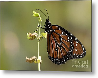 Metal Print featuring the photograph Queen Butterfly by Meg Rousher