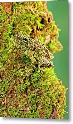 Vietnamese Mossy Frog, Theloderma Metal Print