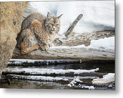 Wyoming, Yellowstone National Park Metal Print by Elizabeth Boehm