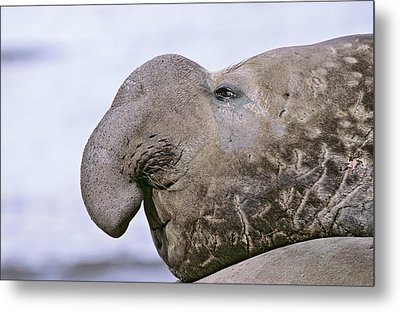 Southern Elephant Seal (mirounga Leonina Metal Print by Martin Zwick