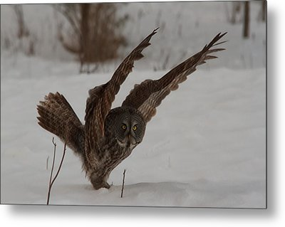 Great Grey Owl Metal Print