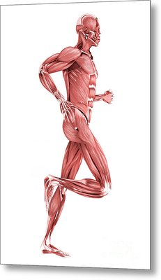 Medical Illustration Of Male Muscles Metal Print by Stocktrek Images