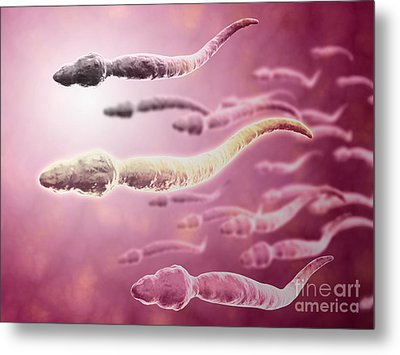 Microscopic View Of Sperm Traveling Metal Print by Stocktrek Images