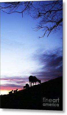 Winter Lambs And Ewes Sunrise Metal Print by Thomas R Fletcher