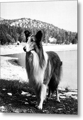Lassie Metal Print