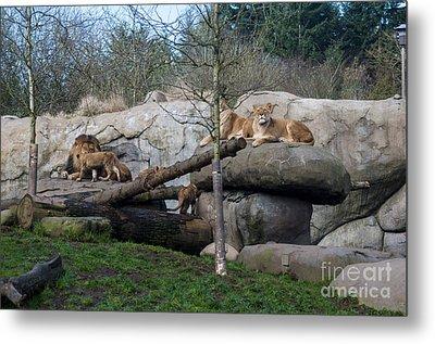 Lion Family Metal Print by Mandy Judson