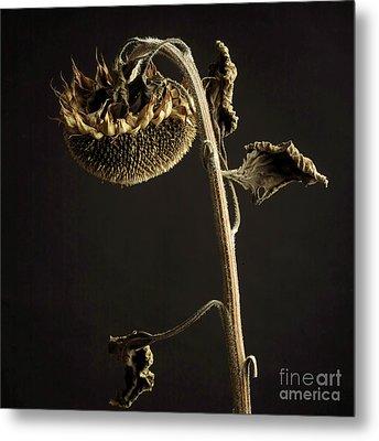 Sunflower Metal Print by Bernard Jaubert