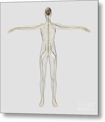 Medical Illustration Of The Human Metal Print by Stocktrek Images