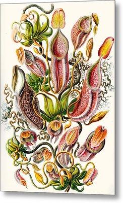 A Collection Of Nepenthaceae Metal Print by Ernst Haeckel