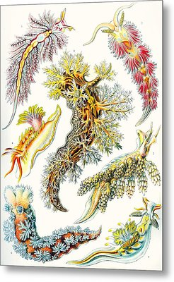 A Collection Of Nudibranchia Metal Print by Ernst Haeckel
