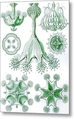 A Collection Of Stauromedusae Metal Print by Ernst Haeckel
