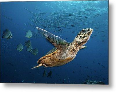 A Hawksbill Sea Turtle Swims Metal Print
