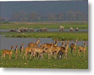 A Herd Of India Swamp Deer In Kaziranga Metal Print by Steve Winter