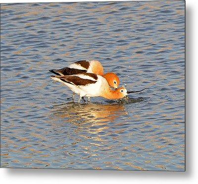 Metal Print featuring the photograph A Pair Of American Avocets by Lula Adams