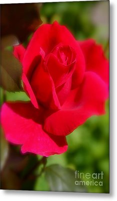 A Red Rose Metal Print by Jay Nodianos