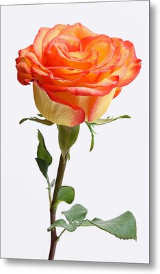 A Rose Is A Rose Is A Rose Metal Print by Juergen Roth
