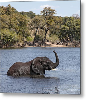Metal Print featuring the photograph African Elephant In Chobe River  by Liz Leyden