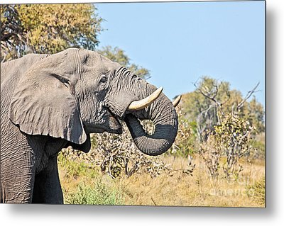 African Elephant In Profile Metal Print by Liz Leyden