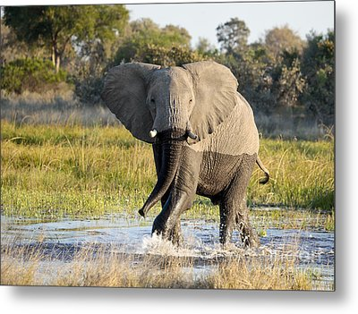 Metal Print featuring the photograph African Elephant Mock-charging by Liz Leyden