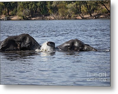 Metal Print featuring the photograph African Elephants Swimming In The Chobe River Botswana by Liz Leyden