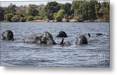 Metal Print featuring the photograph African Elephants Swimming In The Chobe River by Liz Leyden