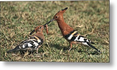 Metal Print featuring the photograph African Hoopoe Feeding Young by Liz Leyden