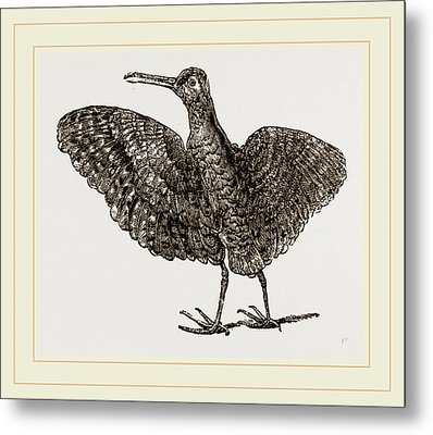 African Painted Snipe Metal Print by Litz Collection