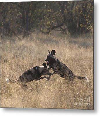 Metal Print featuring the photograph African Wild Dogs Play-fighting by Liz Leyden