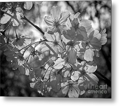 Akebono In Monochrome Metal Print by Peggy Hughes