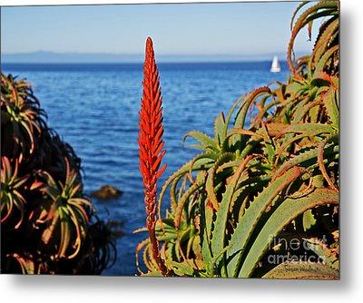 Aloe Arborescens Flowering At Pacific Grove Metal Print by Susan Wiedmann