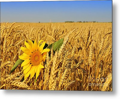 Alone Sunflower Sunflower In Wheat Metal Print by Boon Mee
