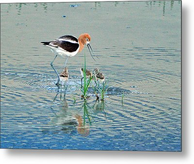 Metal Print featuring the photograph American Avocet With Young by Lula Adams