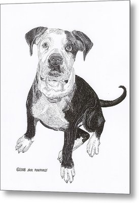 American Bull Dog As A Pup Metal Print by Jack Pumphrey
