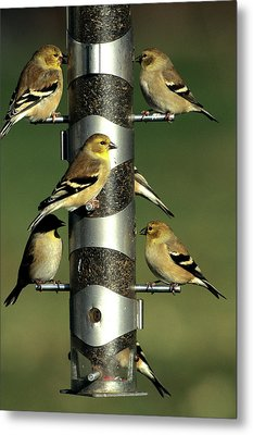 American Goldfinches (cardeulis Tristis Metal Print by Richard and Susan Day