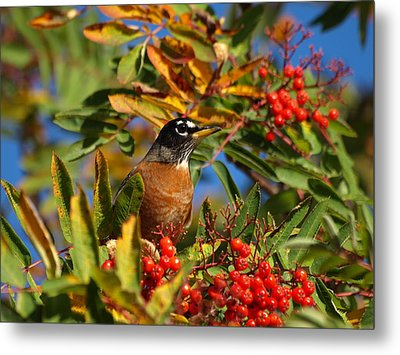 American Robin Metal Print by James Peterson