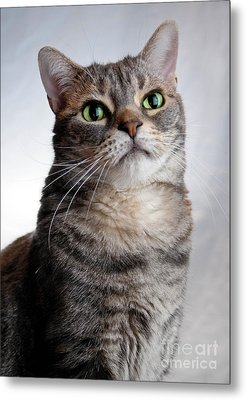 American Shorthair Portrait Metal Print by Amy Cicconi