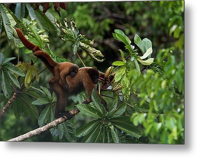 An Adult Woolly Monkey With Young Metal Print
