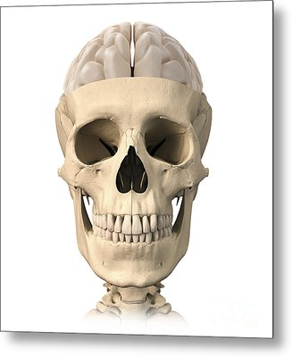 Anatomy Of Human Skull, Cutaway View Metal Print by Leonello Calvetti