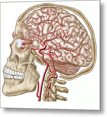 Anatomy Of Human Skull, Eyeball Metal Print by Stocktrek Images
