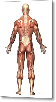 Anatomy Of Male Muscular System, Back Metal Print by Stocktrek Images