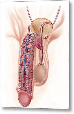 Anatomy Of Male Reproductive Organs Metal Print by Stocktrek Images