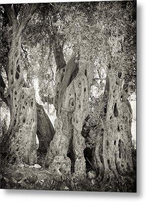 Ancient Olive Metal Print by Paul Cowan