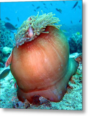Anemone And Pink Anemonefish Metal Print by Laura Hiesinger