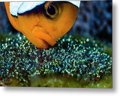 Anemonefish With Eggs, Cebu Metal Print