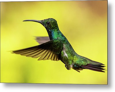 Anthracothorax Nigricollis Metal Print by Jorge Garc�a