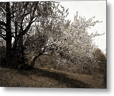 Apple Blossoms, Apple Trees, Flowers Metal Print