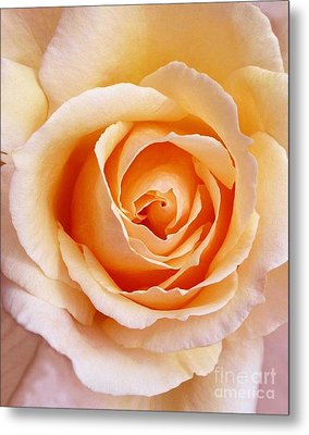 Aranciata Rose Blossom Metal Print by Paul Clinkunbroomer